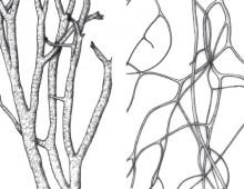 British Lichen Society – The Lichens of Great Britain and Ireland