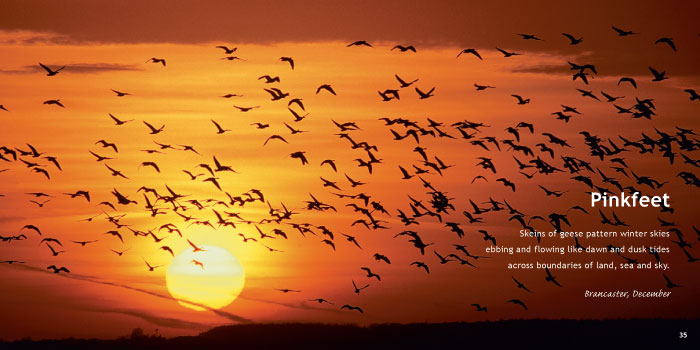Pinkfeet Geese